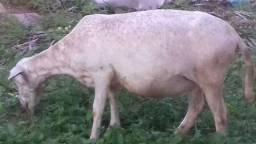 Vendo Ovelhas eu número *