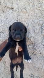 Labrador com Pitbull R$100