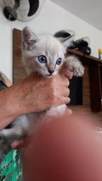 Título do anúncio: Gato siamês