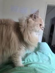 Gato Persa Para Cruzar