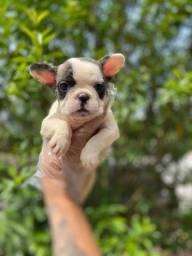 Título do anúncio: Filhotes bull dog francês alto padrão da raça com pedigree e garantias de saúde !