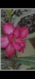 Título do anúncio: Sementes da rosa do deserto