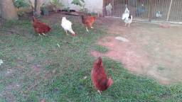 Lote com 05 galinhas Leia o anúncio