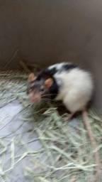 Ratos Twister/Mecol ( leia a descrição)
