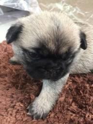 Filhote fêmea de Pug