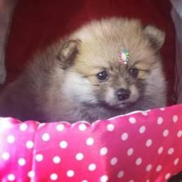 O presente encanta  !!!!! Lulu dá Pomerânia anã