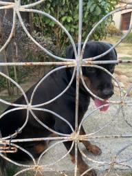 Rottweiler procura namorada