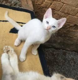 Gatinho branco filhote de siamesa