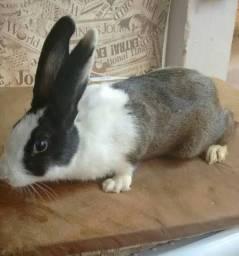quero comprar coelho que seja de duas cores !