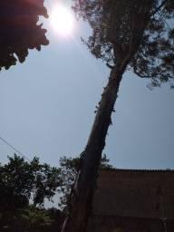 Arvore tora eucaliptos Gratis