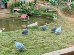 Galinhas de Angola