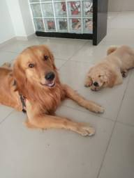 Golden Retriever ( Cruzar )