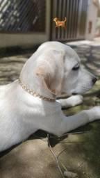 Labrador americano