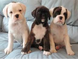 Boxer filhotes com pedigree e garantias
