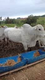 Título do anúncio: Vendo Touro Bhama reprodutor