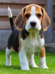 Lindos filhotes de Beagle a pronta entrega