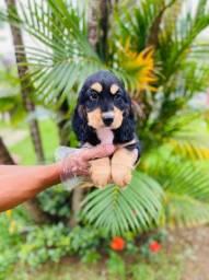 Filhotes de Cocker Spaniel, com suporte veterinário 24 hrs gratuito