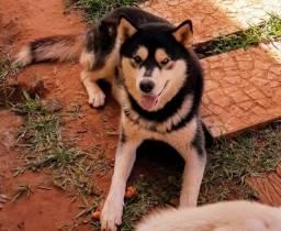 Husky macho procura namorada