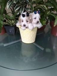 Título do anúncio: 2 poodle  fêmeas 650 cada