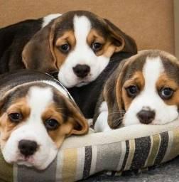 Título do anúncio: Beagle com garantia
