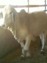 Gado Brahman