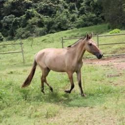 Égua Campolina - Oportunidade - 4 Anos - Marcha Picada