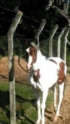 Cavalo paulista garanhao!!