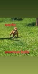 Filhote de cachorro de raca American bully macho