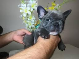 BullDog Francês BLUE Exotico Macho