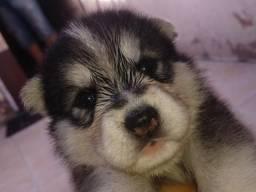 Filhotes puro husky siberiano