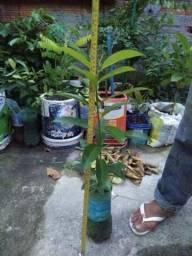 Mudas de plantas frutíferas