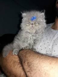 Gato persa show ( disponivel na cor branco)