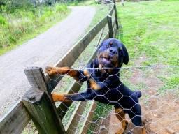Cachorro Rottweiller