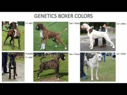 Genética das cores no Boxer