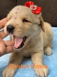 Golden Retriever Fêmea Garantia de Tamanho e Pureza