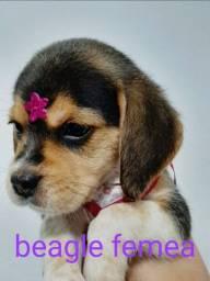 Beagle Fêmea Ah Pronta Entrega