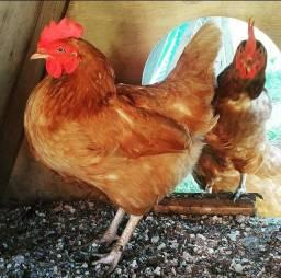 Título do anúncio: Vende-se galinhas *