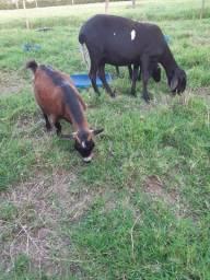 Filhote de Mini Cabra