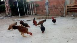 Galo e galinha garnizé