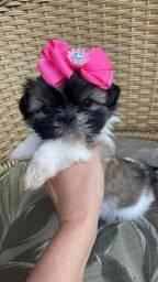 Lindissima fêmea de Shih Tzu!!! Vacinada e com pedigree