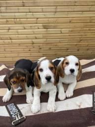 Seu bebê de Beagle disponíveis com garantias