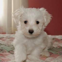 Título do anúncio: Filhotes de Poodle