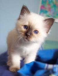 Título do anúncio: Gatinhos siames