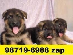 Canil Filhotes Cães Diferenciados BH Pastor Dálmata Boxer Labrador Akita Golden