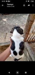 Bulldog francês linhagem pura