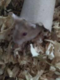 Título do anúncio: Hamster macho