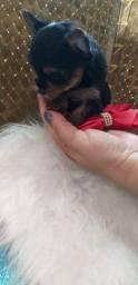 Título do anúncio: Filhotes de Yorkshire Terrier