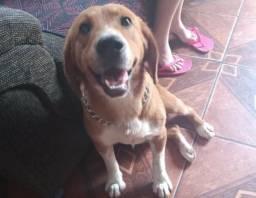 Doação beagle