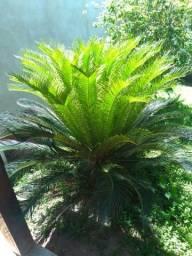 Palmeira Sagu (cica)