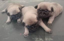 Vendo 3 pug